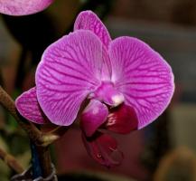 Орхидея (фалинопсис)