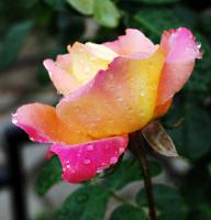 """Серия """"Розы в дождь"""""""