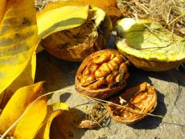 ЮБК: спелый грецкий орех
