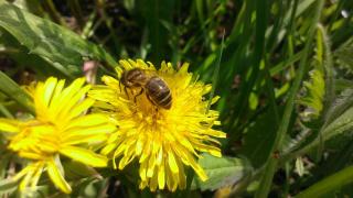 пчела-крестьянка