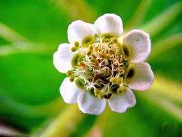 Так цветёт молочай окаймлённый - ЭУФОРБИЯ.