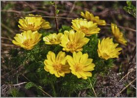 Адонис - горицвет весенний