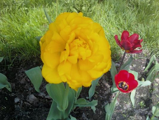 Тюльпан махровый.