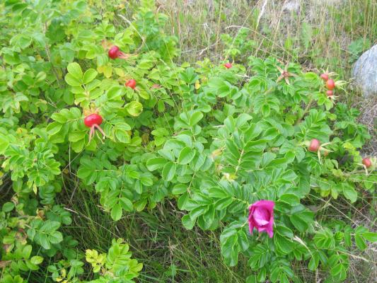 Вот такой шиповник цветет на Соловецких островах.