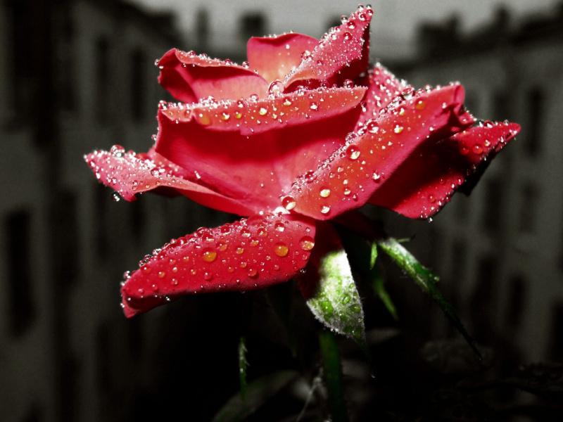 """Из серии """"Цветы на моём окне"""" Роза"""