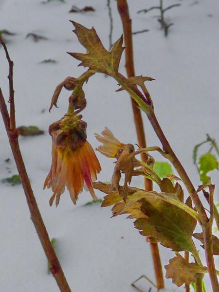 Замёрзшая хризантема.